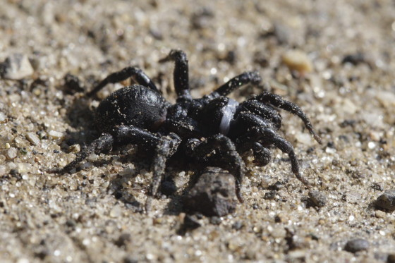 Black purseweb spider (Sphodros niger) - Sphodros niger
