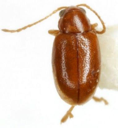 Longitarsus suspectus Blatchley - Longitarsus suspectus - male