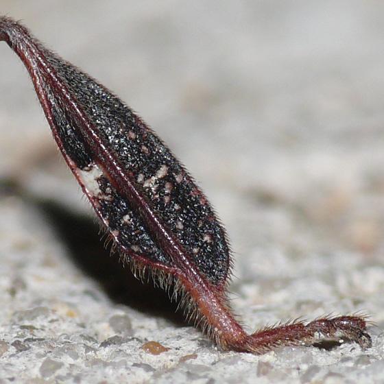 Leaf-footed Pine Seed Bug ??? - Leptoglossus corculus