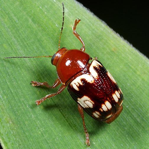 Coleoptera - Cryptocephalus badius