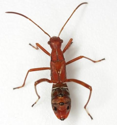 Alydus pilosulus Herrich-Schaeffer - Alydus pilosulus