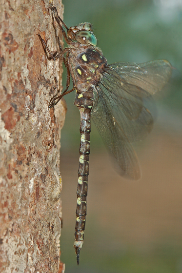 Ocellated Darner - Boyeria grafiana - male