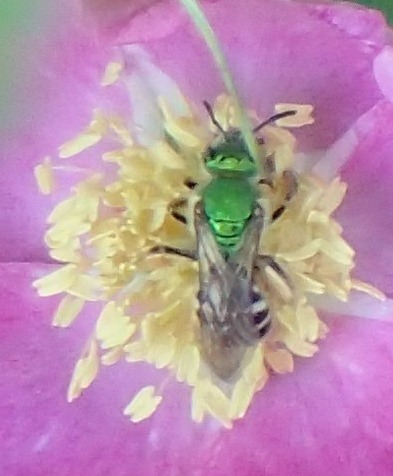 Agopostemon green striped sweat bee - Agapostemon virescens