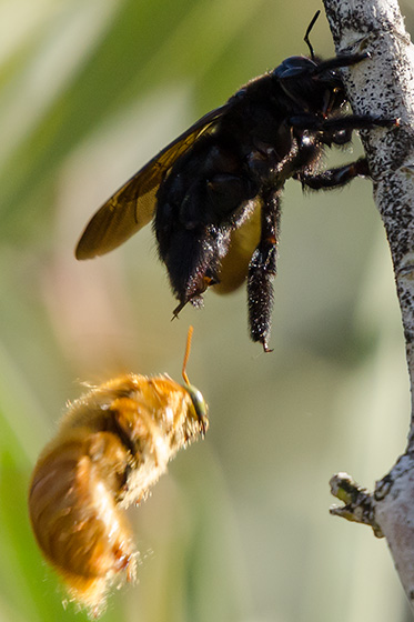 Busy Bees - Xylocopa varipuncta - male - female