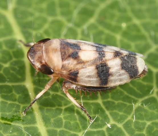 leafhopper - Anoscopus serratulae - male