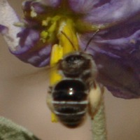 Bee - Exomalopsis solani - female