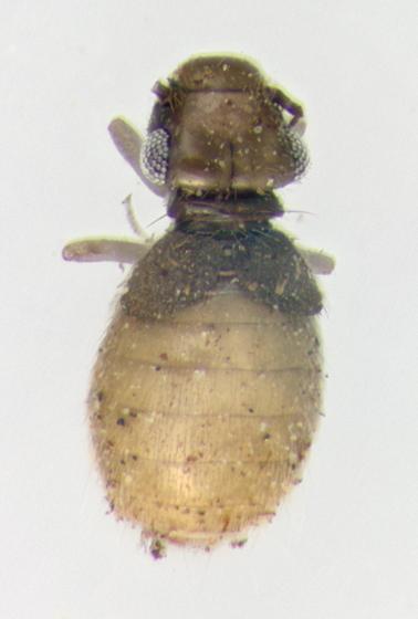 Psocodea, question - Lepinotus reticulatus