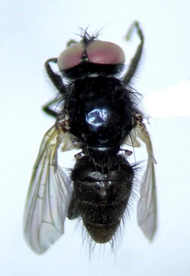Hydrotaea - Hydrotaea floccosa - male