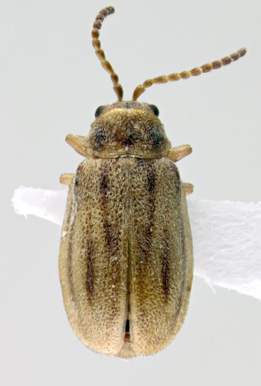 Chrysomelidae, dorsal - Ophraella bilineata