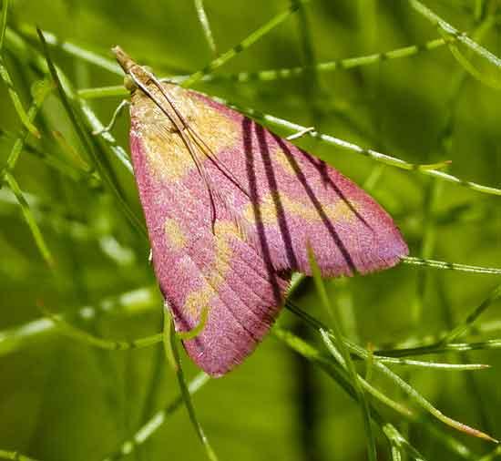 Found this moth? in my yard can anyone id it - Pyrausta laticlavia