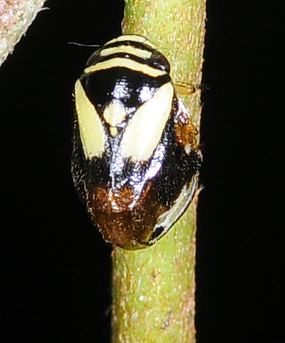 Black and yellow bug - Clastoptera proteus