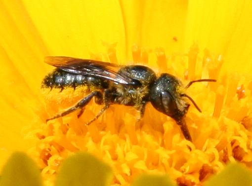 Bee ID Request [2008] - Osmia georgica - female