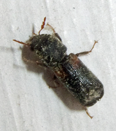 Anthribidae? - Xylobiops basilaris