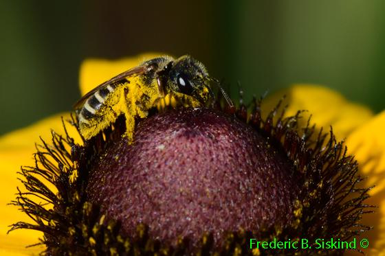 Bee on Black-eyed Susan  - Halictus