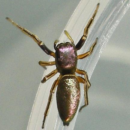 Spider - Tutelina elegans - female