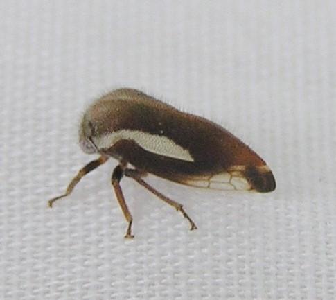 Fashion Model - Ophiderma flavicephala
