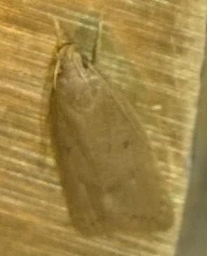 Unknown moth  - Autosticha kyotensis