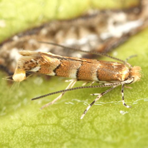 Lithocolletine ex Canavalia rosea
