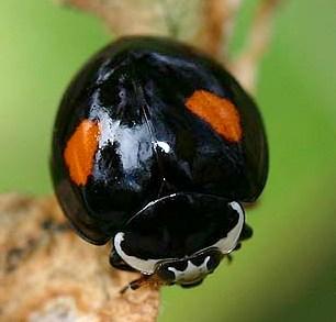 Ashy-Gray Ladybird Beetle - Olla v-nigrum