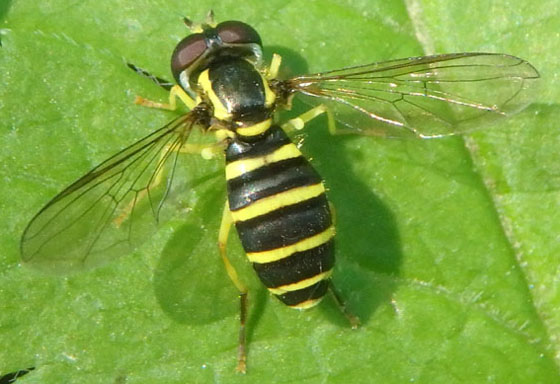 Syrphid June 3 - Xanthogramma flavipes - female