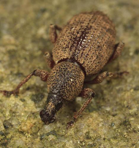 Weevil - Otiorhynchus singularis