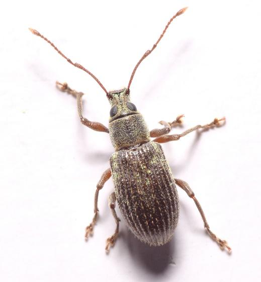 Cyrtepistomus castaneus