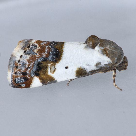 Acontia flavipennis - Tarache abdominalis