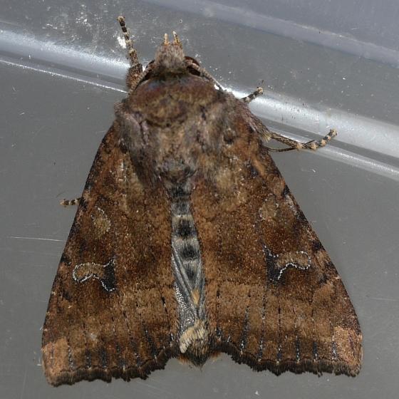 Veiled Ear Moth  - June 24 - Loscopia velata