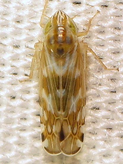 Cosmotettix bilineatus