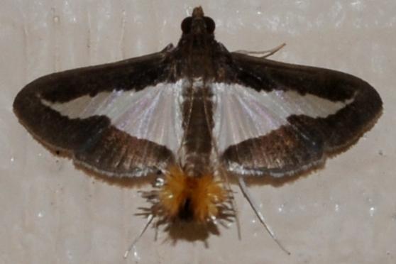 which Diaphania sp.? - Diaphania modialis