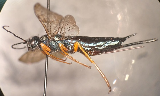 Sirex cyaneus - female