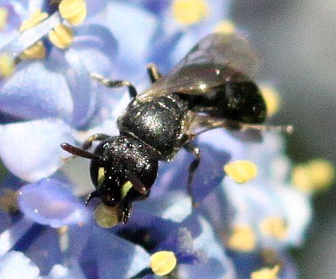 Masked Bee! - Hylaeus