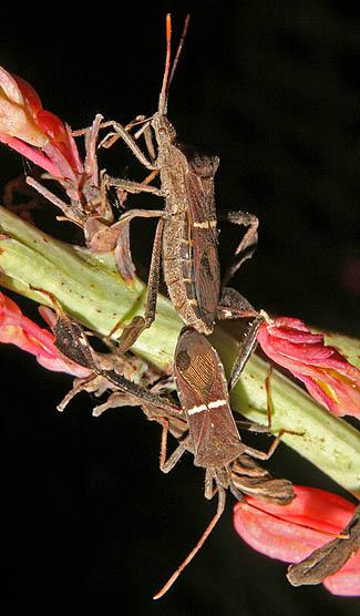 Acanthocephala femorata ? - Leptoglossus phyllopus