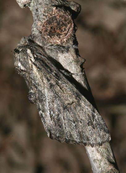 Notodontidae, adult, lateral - Paraeschra georgica