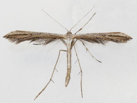 Morning Glory Plume Moth - Emmelina monodactyla