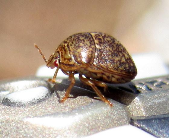 Beetle? Bug? - Megacopta cribraria