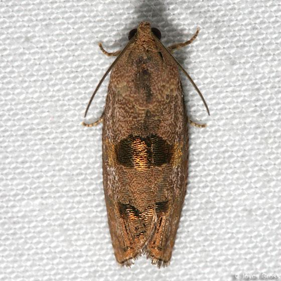 moth - Cydia? - Cydia latiferreana