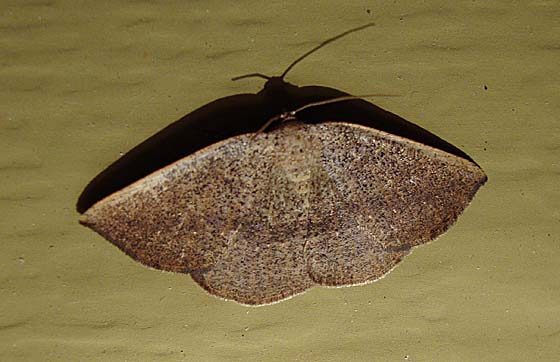 Tacparia zalissaria - Hodges#6805 (Tacparia zalissaria) - Tacparia zalissaria