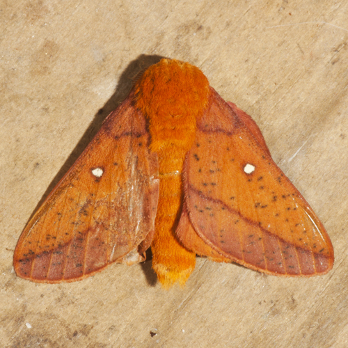 Spiny Oakworm Moth - Hodges #7716 - Anisota stigma - male