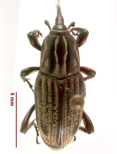 LSAM billbug 5   - Sphenophorus australis