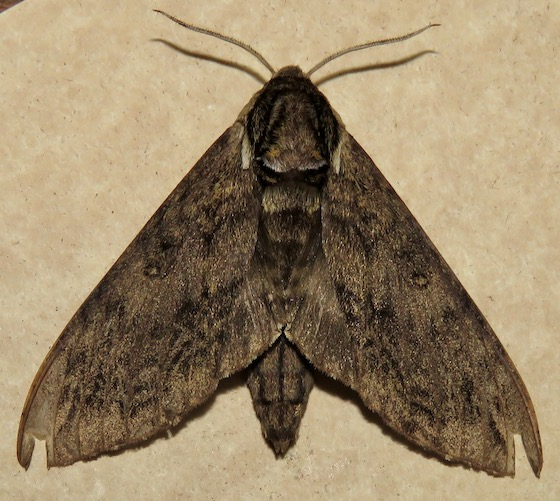 Catalpa Sphinx - Hodges#7789 - Ceratomia catalpae