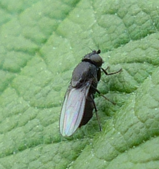 unknown fly? - Desmometopa
