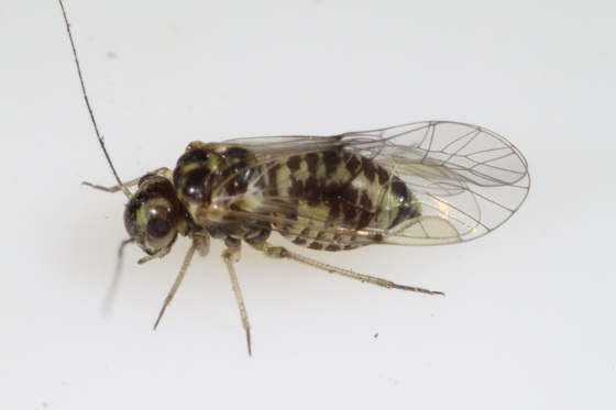 Blastopsocus walshi Mockford - Blastopsocus walshi - female