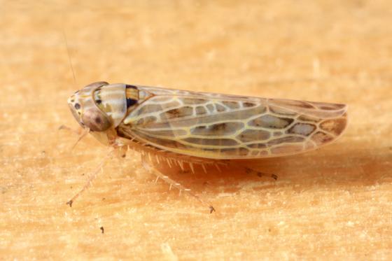 Leafhopper - Endria inimica