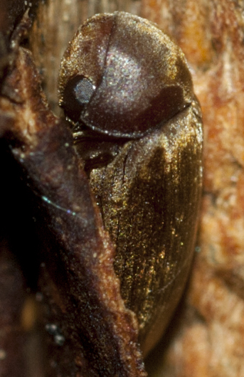 Death-watch Beetle - Euvrilletta peltata