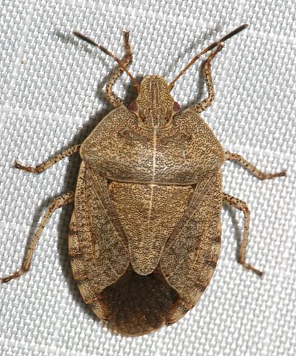 Stink Bug - Menecles insertus