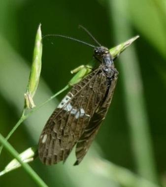 Fishfly ? - Nigronia serricornis