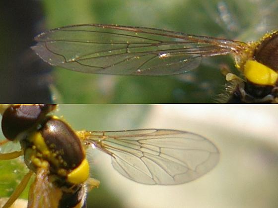 Syrphid Fly - Sphaerophoria - female