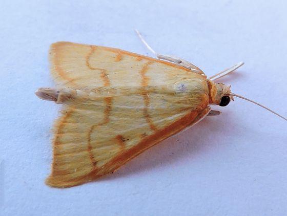 Neohelvibotys arizonensis - Neohelvibotys arizonensis