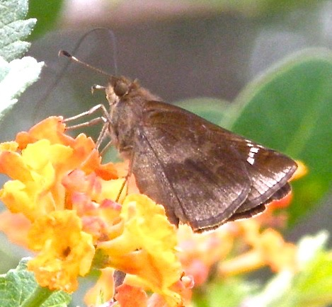 Clouded Skipper - Lerema accius